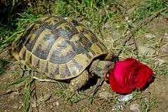 Hermanni del Testudo che mangia una rosa Fotografia Stock Libera da Diritti