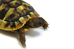 Hermanns Schildkröte Lizenzfreies Stockfoto