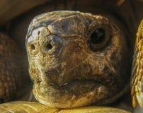 Hermanns Schildkröten-Schildkrötenkopf Lizenzfreie Stockfotos