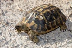 Hermanns sköldpadda - Testudohermanni Royaltyfria Foton