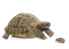 Hermanns Tortoise and baby turtle Royalty Free Stock Photo