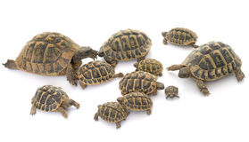 Hermanns Tortoise and baby turtles Royalty Free Stock Photo