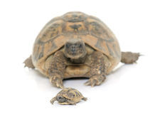 Hermanns Tortoise and baby turtles Royalty Free Stock Image