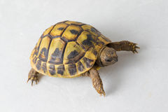 Hermanns tortoise, Testudo hermanni on white Stock Images