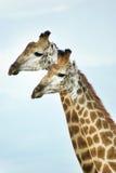 Hermanos de la jirafa Foto de archivo libre de regalías