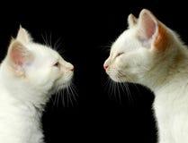 Hermanos del gatito Foto de archivo