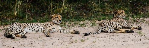 Hermanos del guepardo fotos de archivo