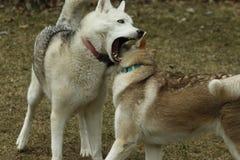 Hermanos del husky siberiano que juegan juntos mostrar los dientes y jugar áspero fotografía de archivo