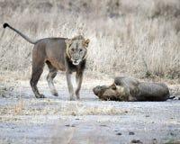 Hermanos del león Imagen de archivo