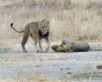 Hermanos del león Imagen de archivo libre de regalías