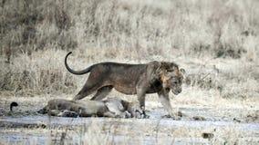 Hermanos del león Foto de archivo