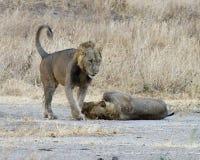 Hermanos del león Foto de archivo libre de regalías
