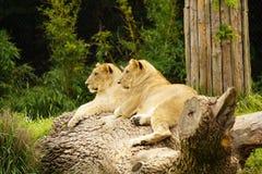 Hermanos del león en el parque zoológico de Cincinnati foto de archivo