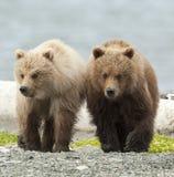 Hermanos del oso Imagen de archivo libre de regalías