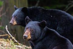 Hermanos del oso Fotos de archivo