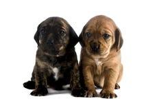 Hermanos del perrito Fotografía de archivo libre de regalías