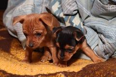 Hermanos del perrito imágenes de archivo libres de regalías
