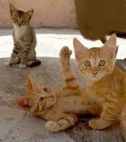 Hermanos jovenes de los gatos foto de archivo libre de regalías