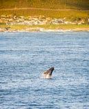 Hermanus Whale Watching Season Stock Photography