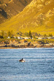 Hermanus Whale Watching Royalty Free Stock Images