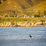 Hermanus Whale Watching Royalty Free Stock Photography