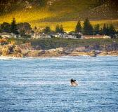 Hermanus Whale Watching Royalty Free Stock Image