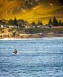 Hermanus Whale Watching Stock Photography