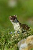 Hermelijn bij großglockner Stock Foto's