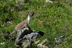 Hermelijn bij grossglockner Royalty-vrije Stock Afbeelding