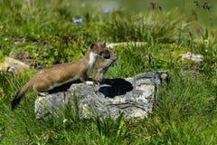 Hermelijn bij grossglockner Stock Afbeelding