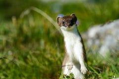 Hermelijn bij grossglockner Royalty-vrije Stock Fotografie
