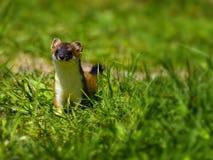 Hermelijn of Hermelijn in het Gras Stock Afbeelding