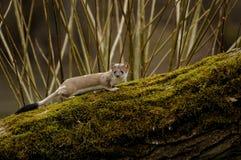 Hermelijn (Mustela Erminea) Royalty-vrije Stock Afbeelding