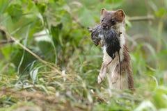 Hermelin Mustela erminea während der Jagd für Nagetiere Stockfotografie