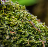 Hermelinmallarv på mossa Arkivbild