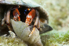 Hermid Crab Stock Photos