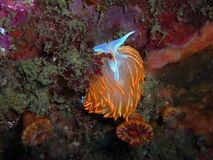 Hermissenda crassicornis nudibranch. Surrounded by Brown Cup Coral.  Found off of central California's Channel Islands Stock Photos