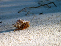 Hermit on the beach. Close-up view of a hermit in the white sand of a beach royalty free stock photo
