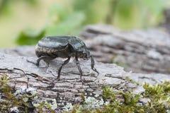 Hermit beetle Osmoderma eremita Stock Photography
