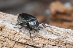 Hermit beetle Osmoderma eremita Stock Photos