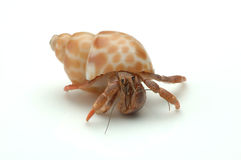 Hermit Crab. Picture of a hermit crab to illustrate security, safety and protection Royalty Free Stock Image
