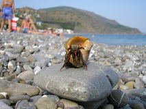 Hermit crab. Coming out from it's hell with ocean in the background Stock Image