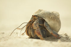 Hermit crab. Also called soldier crab, crawling irs way on the sand Stock Photos