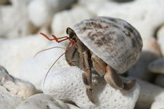 Hermit Crab. Resting on top of a piece of coral Stock Photos