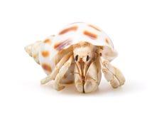 Free Hermit Crab Stock Photo - 15075430