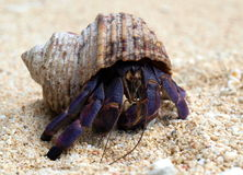Hermit Crab. Purple Hermit Crab cautiously moves across the sand Royalty Free Stock Photography