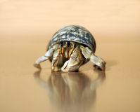 Hermit Crab. A pet hermit crab coming out of it's shell Royalty Free Stock Image