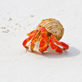 Hermit crab. A big red hermit crab is walking on the beach(with white sands