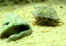 Hermit Crab. Marine hermit crab going for a shell change royalty free stock image