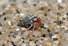 Hermit Crab. Crawling on the beach gravels Royalty Free Stock Photos